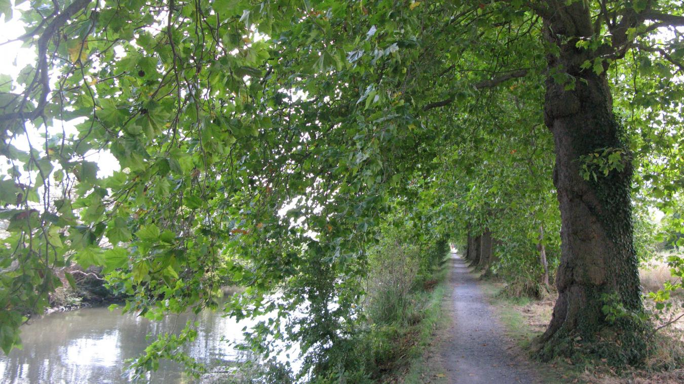 seclin - houplin-ancoisne: les platanes du canal de seclin classés