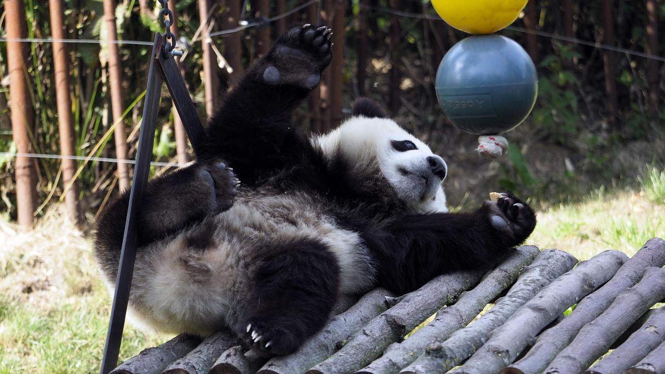 Pairi Daiza B Le Bébé Panda Tian Bao Toujours Chouchou Des