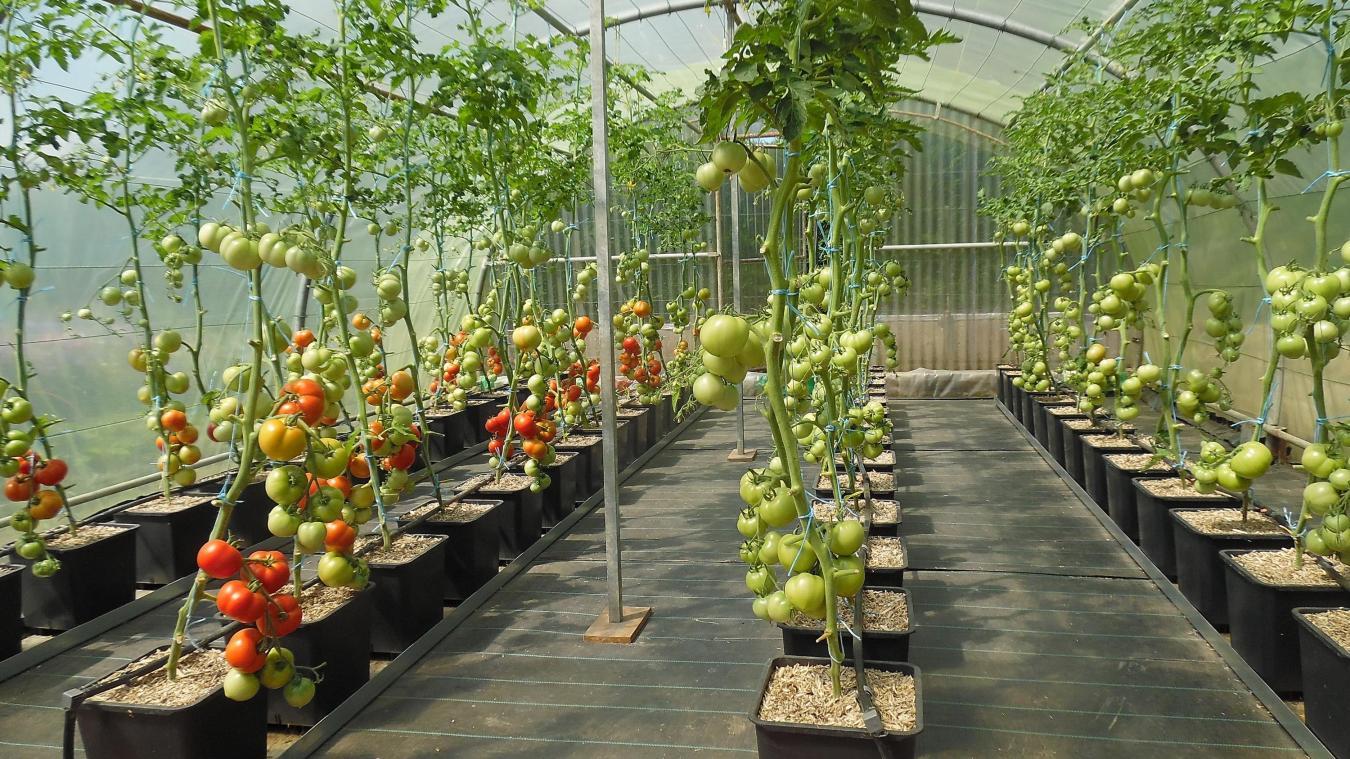 Planter Des Tomates En Pot catillon-sur-sambre 2017, année à tomates : variétés