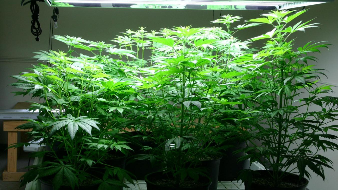 Amettes Il Transforme La Chambre De Ses Enfants En Plantation De Cannabis