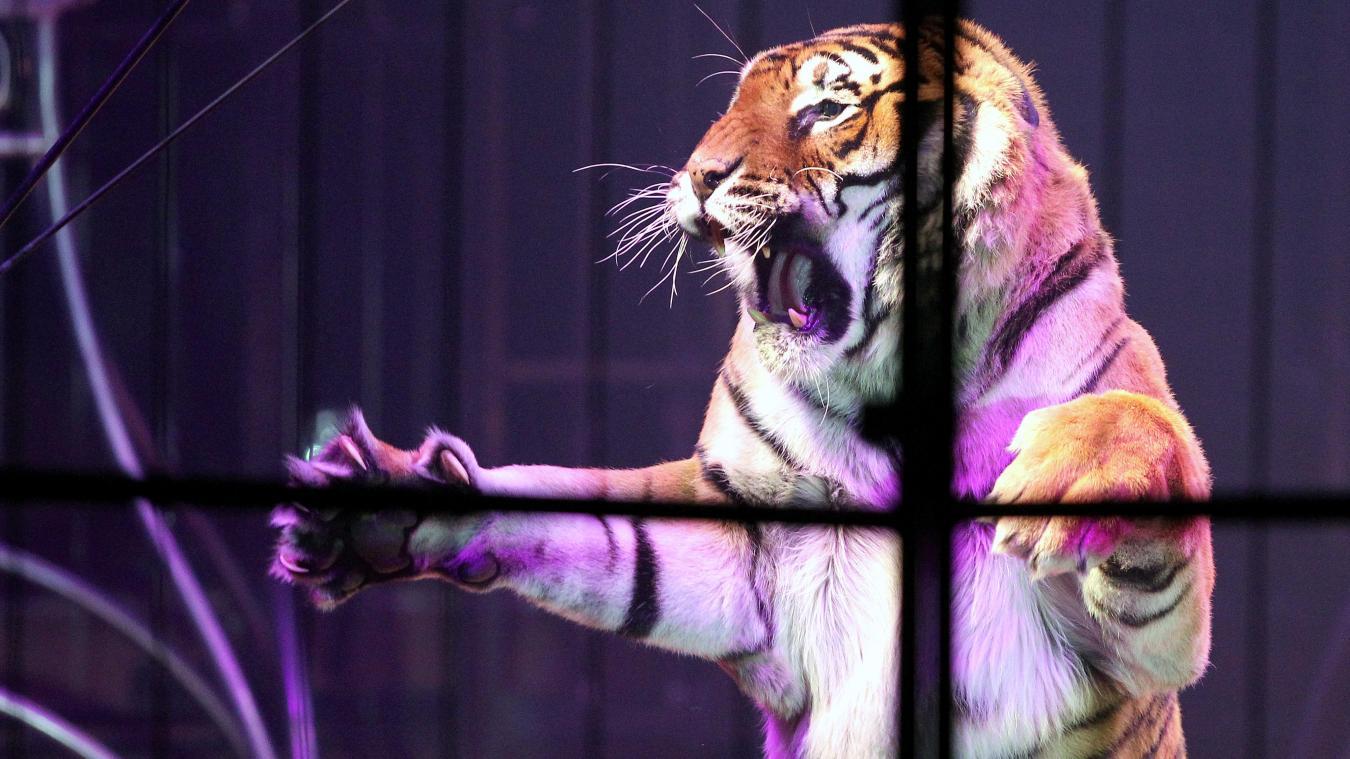 Le dompteur d'un cirque tué par ses tigres — Italie