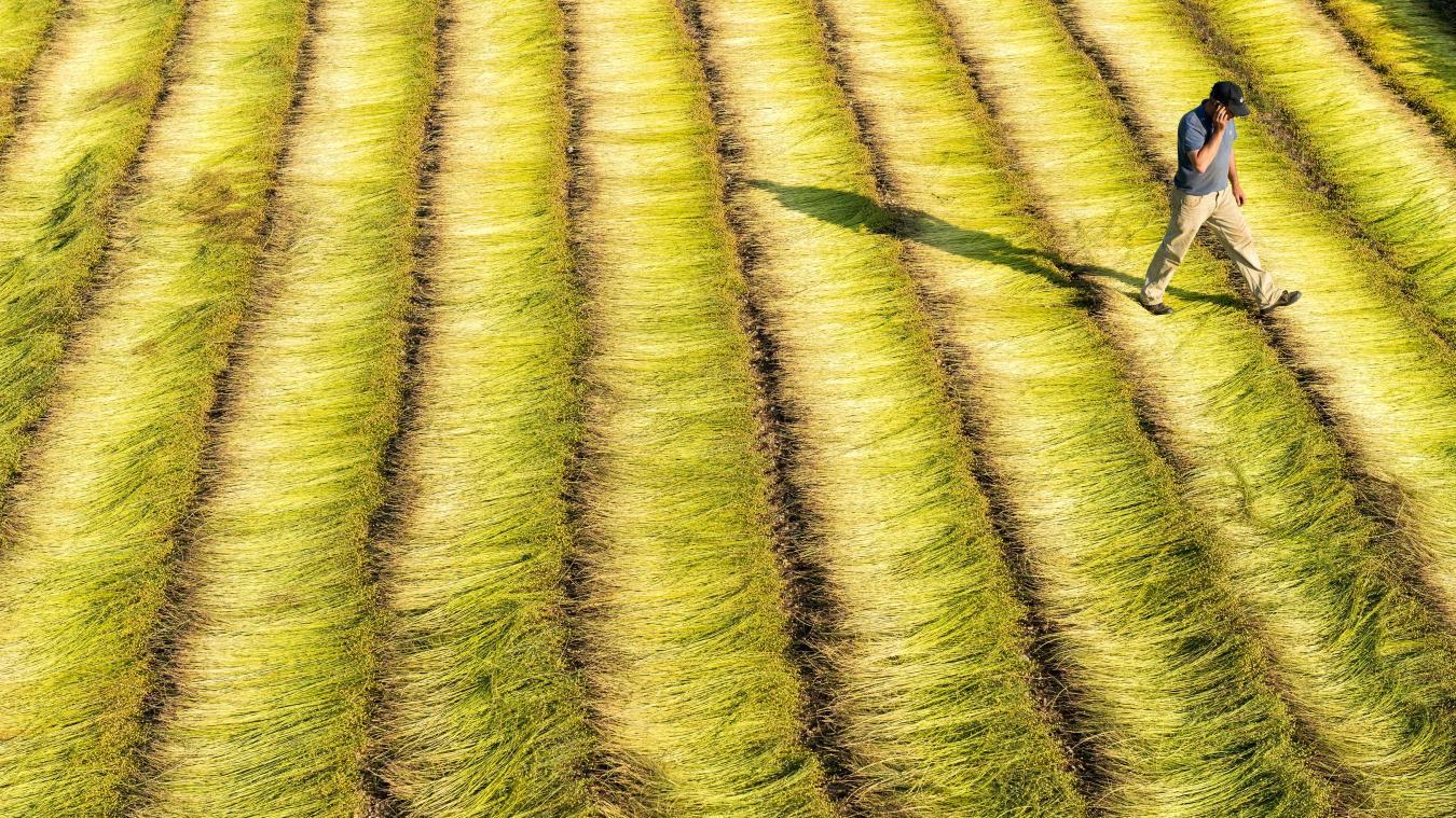 Flandre Après une mauvaise année pour le lin, la filière ...