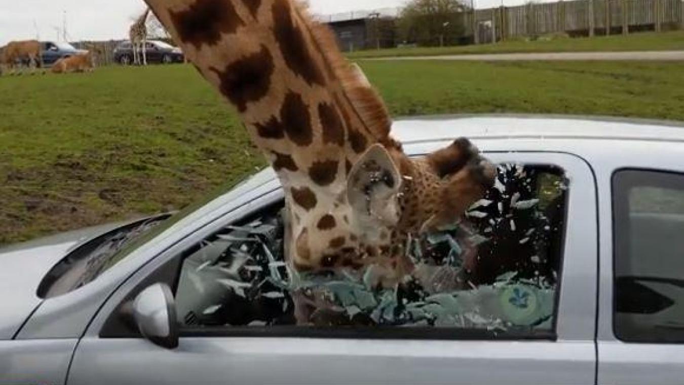 VIDÉO - Royaume-Uni : une girafe reste coincée dans une voiture de tourisme