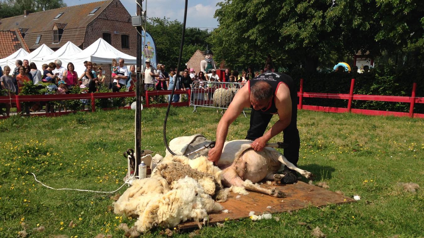 Wasquehal : La tonte de moutons est une fête à la ferme Dehaudt