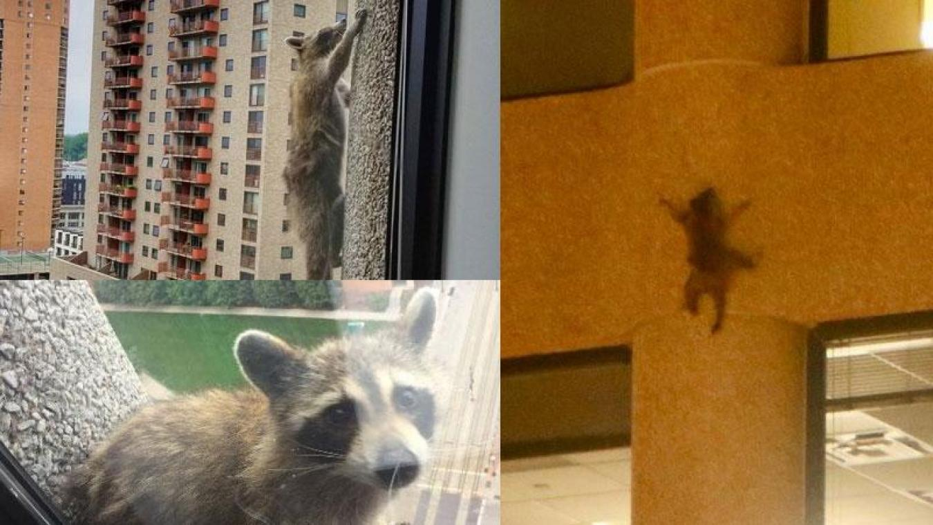 Un raton laveur escalade un immeuble au Minnesota