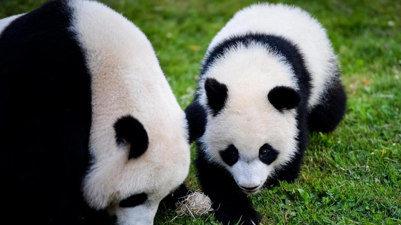 Insolite Le Bébé Panda Du Zoo De Beauval Fête Son 1 Er Anniversaire