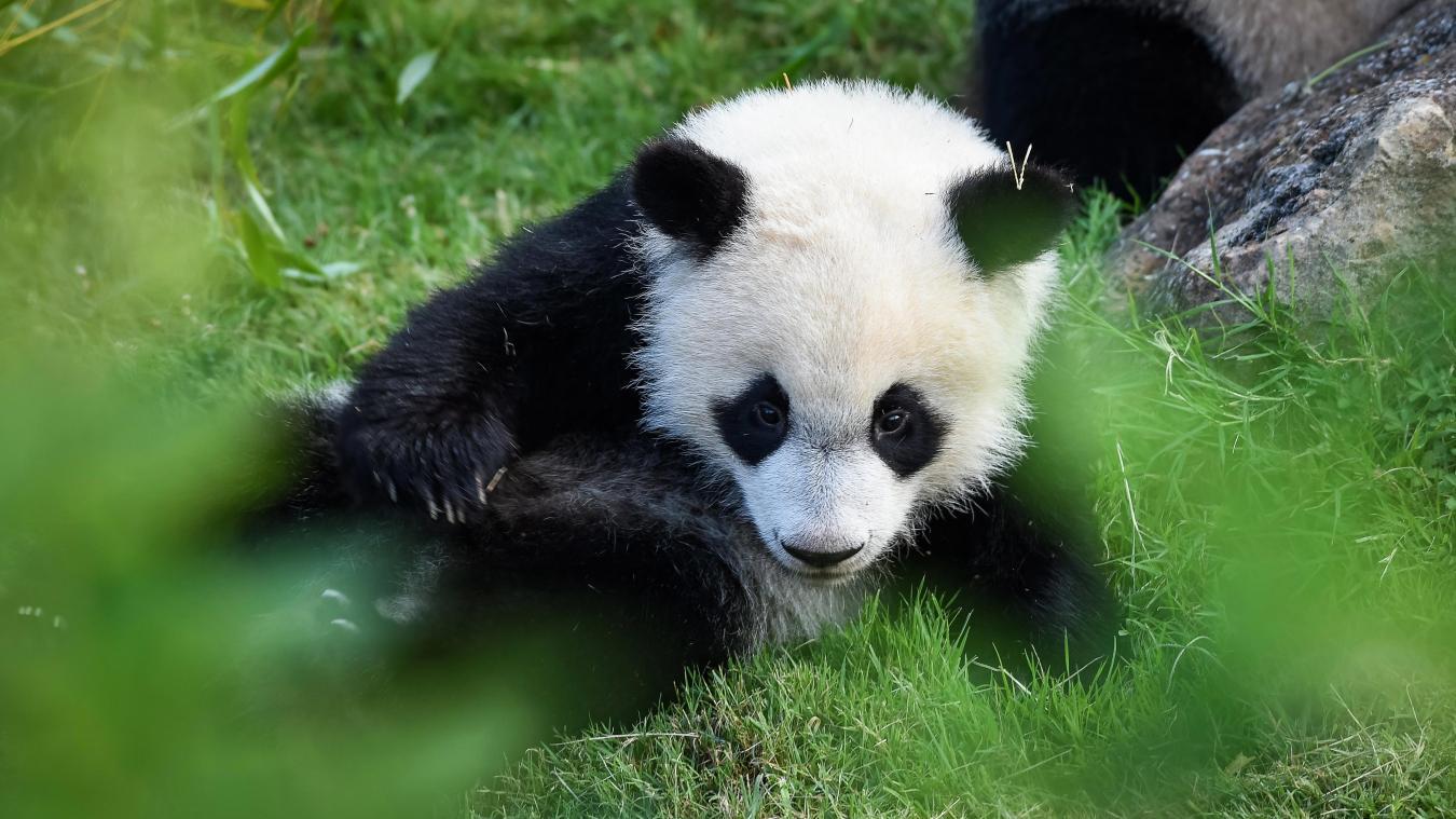 Insolite Cest Lanniversaire Du Bébé Panda Du Zoo De Beauval