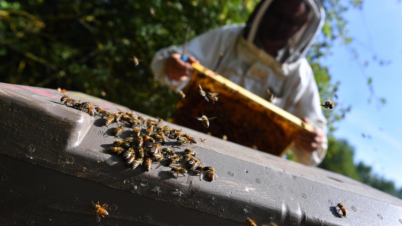 Jean-Luc Debaisieux, président du Rucher école du botanique de Tourcoing, vérifie les ruches situées à Halluin. PHOTO FLORENT MOREAU LA VOIX DU NORD