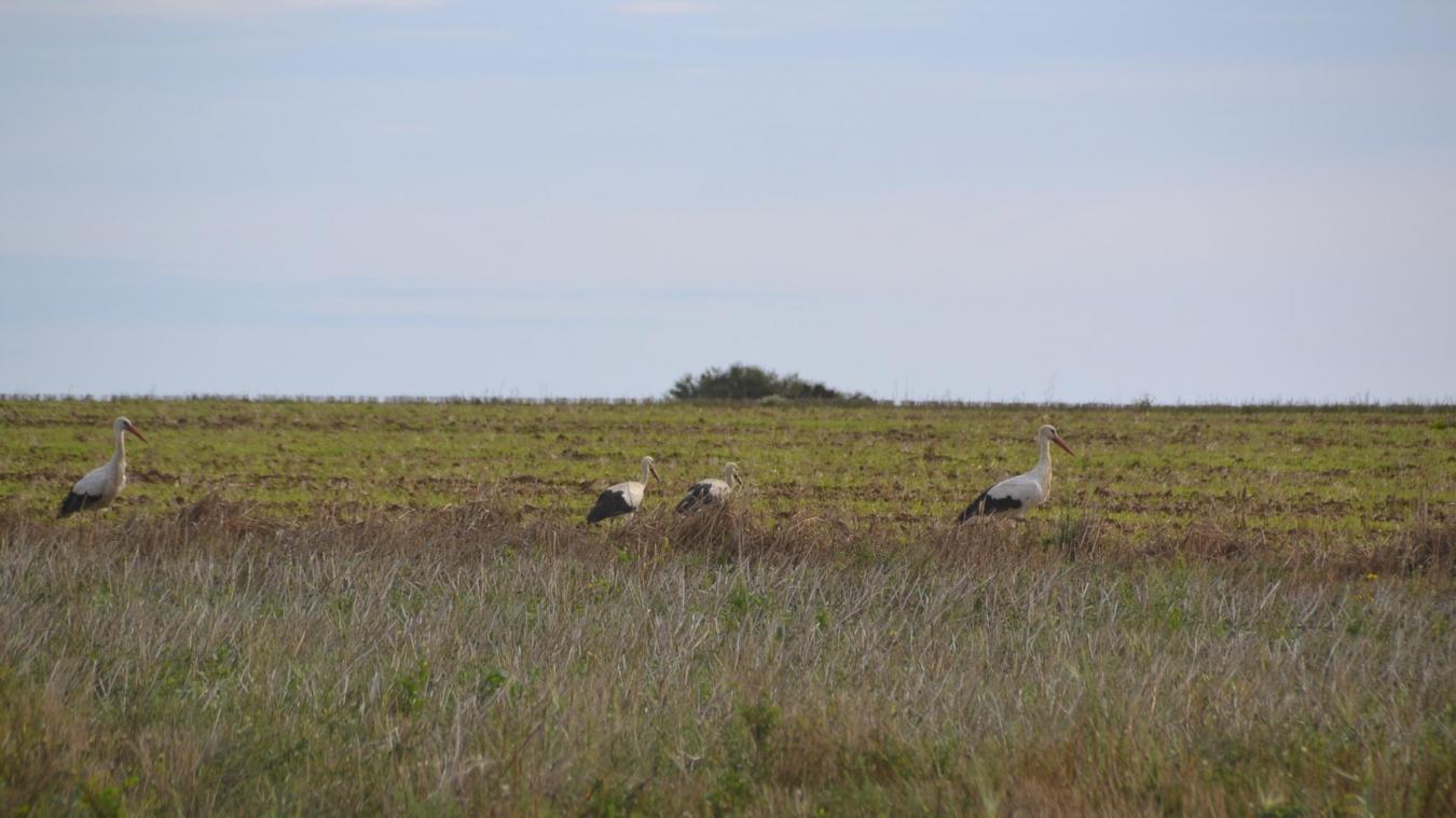 Maninghem-au-Mont Six cigognes repérées dans un champ