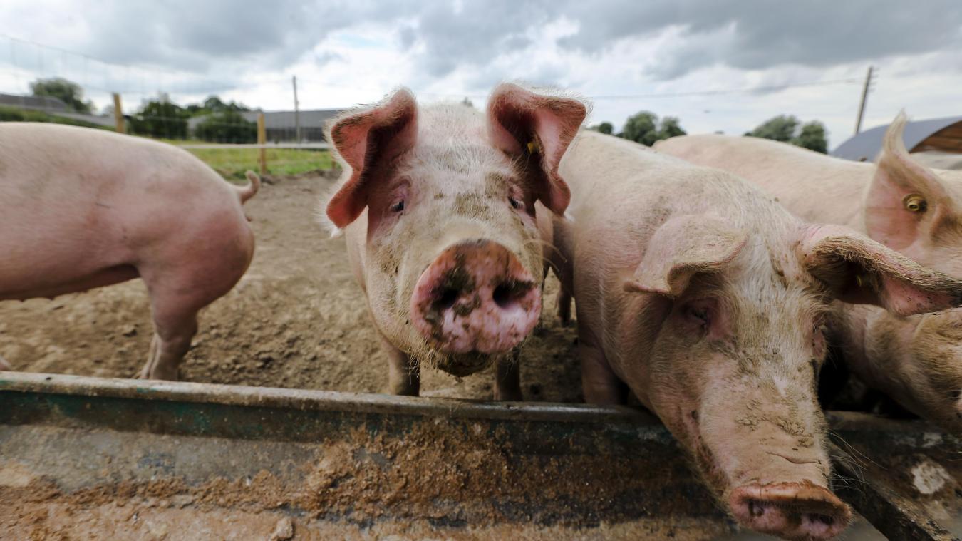 Risques Sanitaires Des Sangliers Atteints De Peste Porcine Africaine A La Frontiere Belge