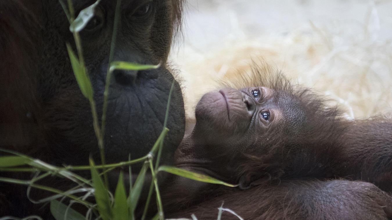 afaaa344e7b1c Animaux Naissance d'un orang-outan au Jardin des Plantes de Paris