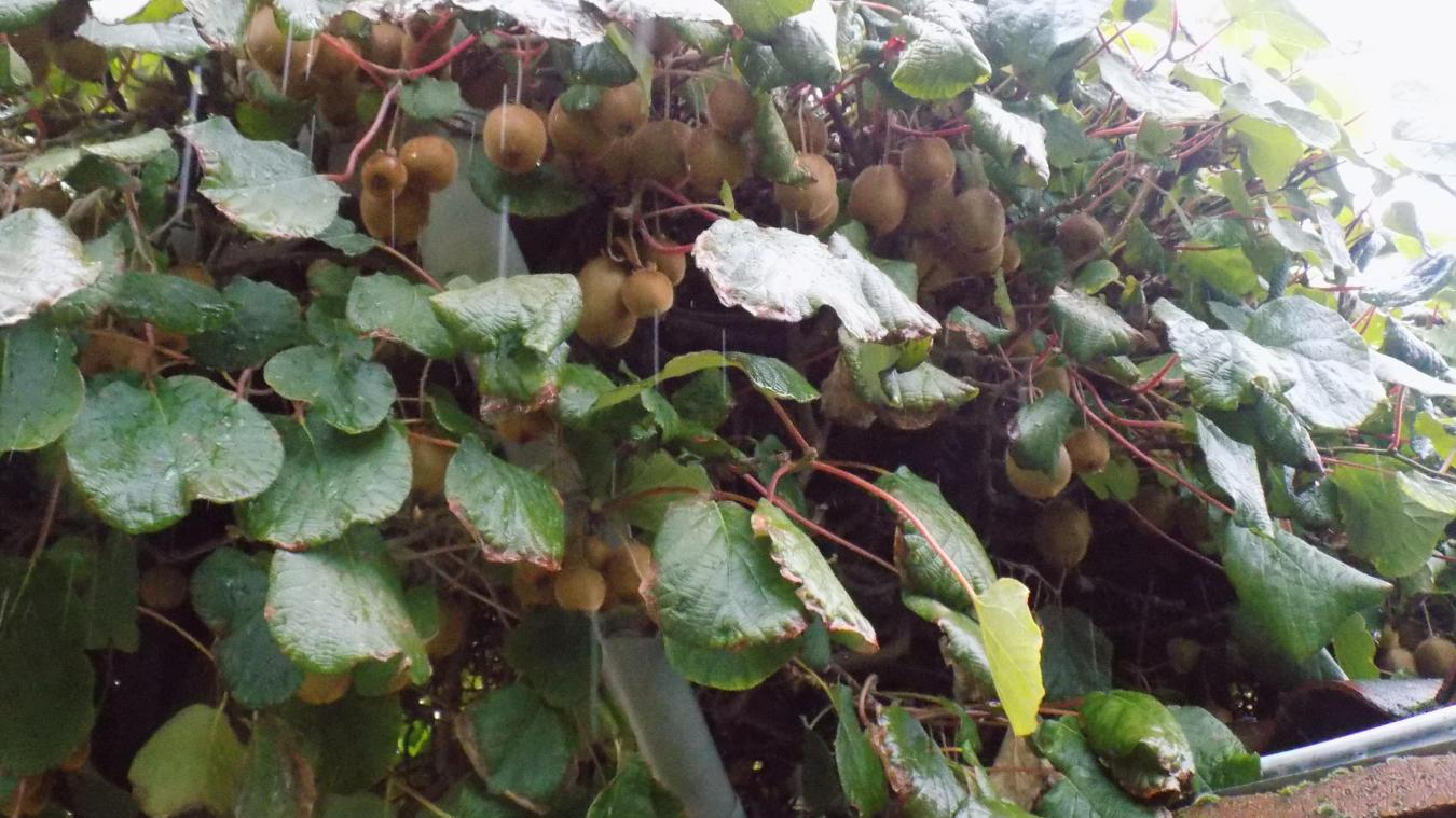 ransart: une collecte de près de 100 kg de kiwis sur un seul arbre