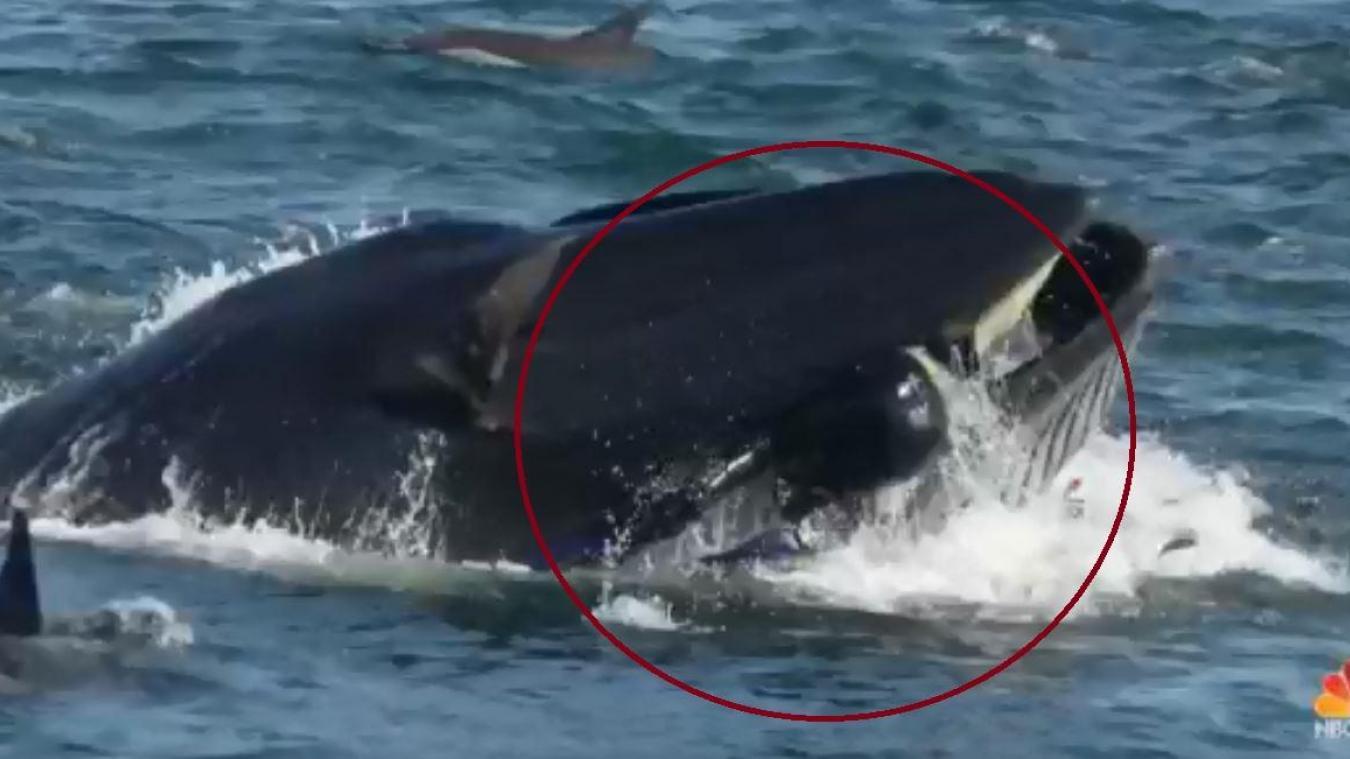 Afrique du Sud. Un plongeur englouti par une baleine [Vidéo]