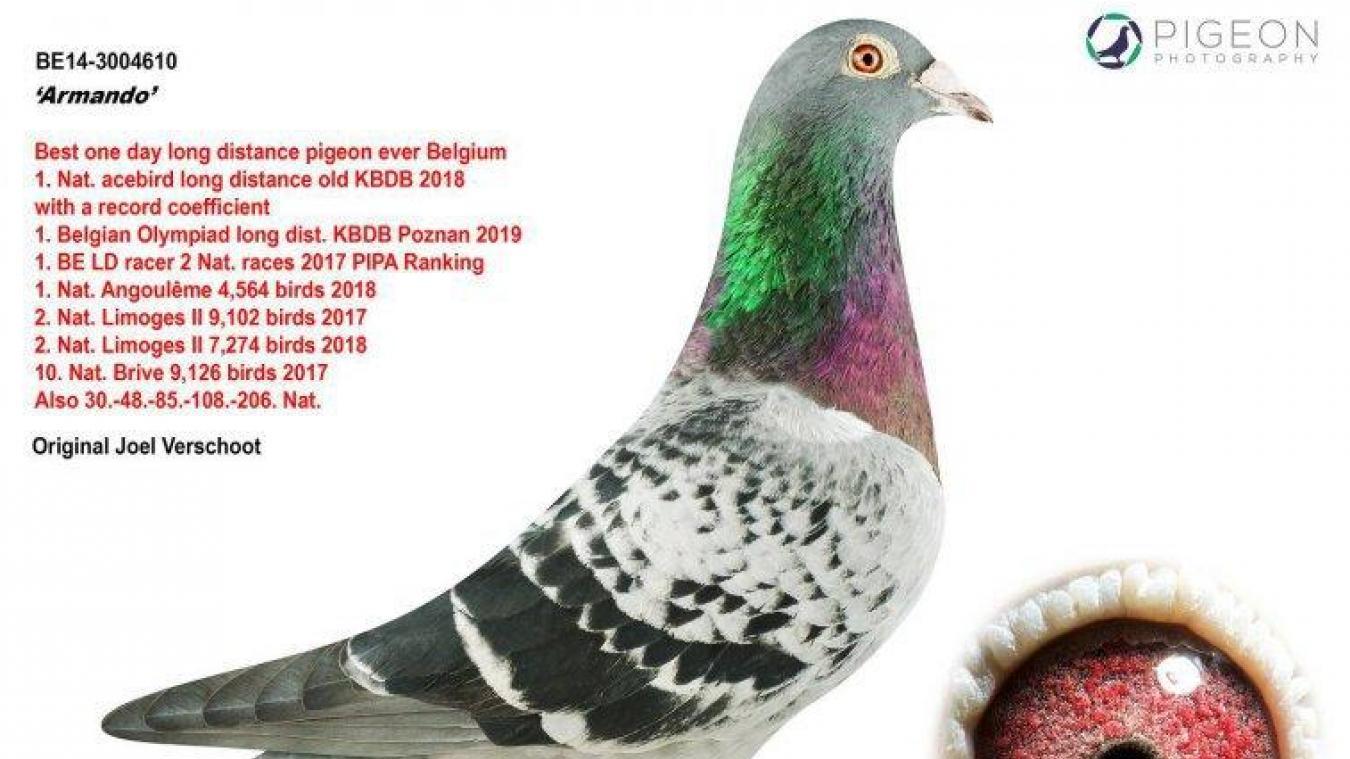 Un pigeon vendu aux enchères pour une somme record
