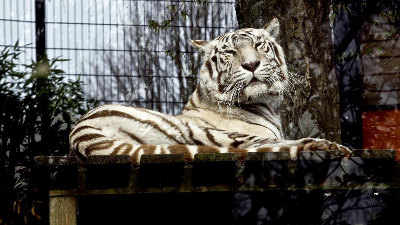 Le dernier tigre blanc du zoo a été euthanasié — Maubeuge