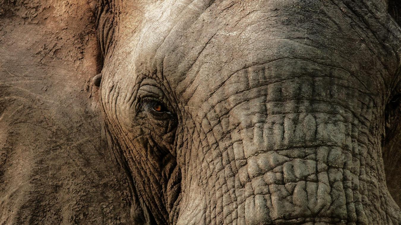 L'éléphant et les lions ont eu la peau du braconnier