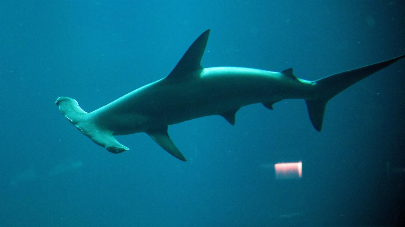 Le dernier requin-marteau de Nausicaá est mort