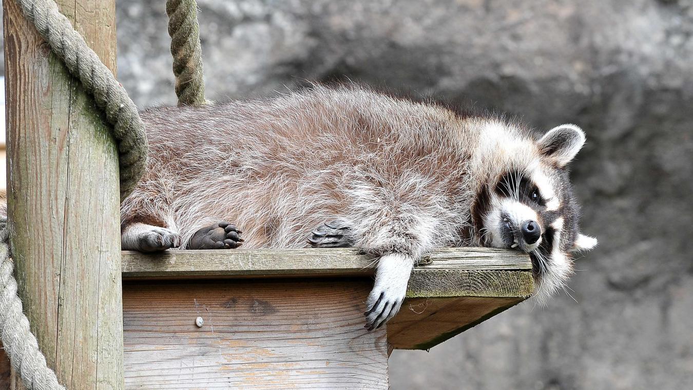 Allemagne : un raton laveur squatte un zoo... qui ne peut pas l'expulser