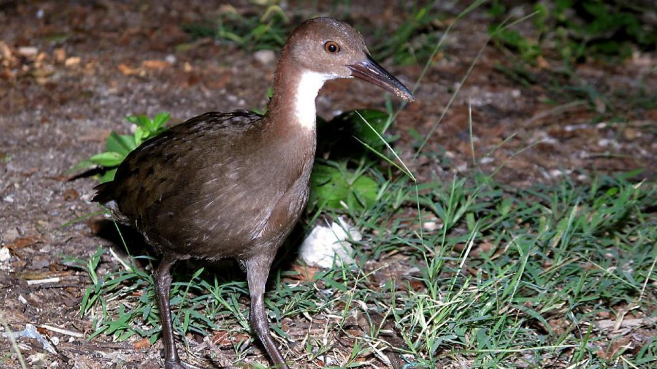 Un oiseau réapparaît 136.000 ans après son extinction