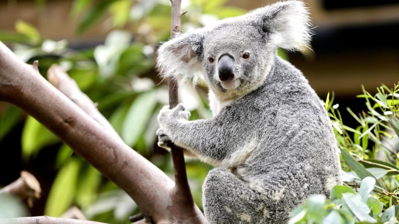 Les koalas sont une espèce