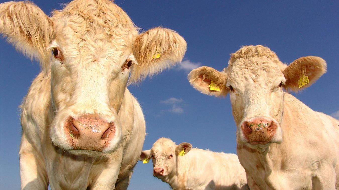 Elle dépose plainte car les vaches font trop de bruit — Hamoir