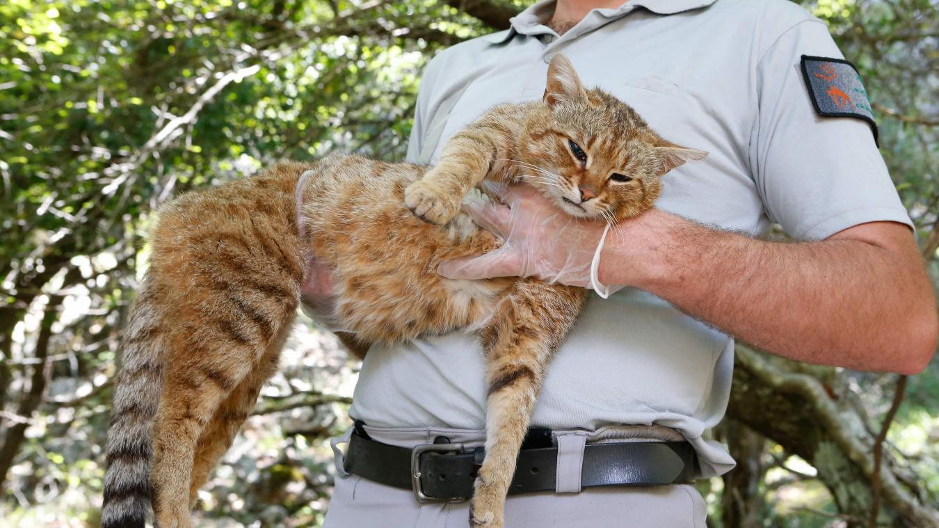 Le chat-renard, une nouvelle espèce de félin détectée — Corse
