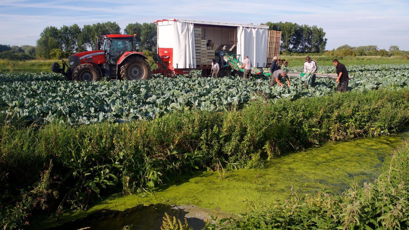 Photos : La récolte du chou-fleur en images - La Voix du Nord