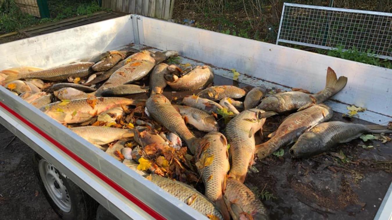 Plus de 200kg de poissons morts retirés des bassins de Cysoing - La Voix du Nord
