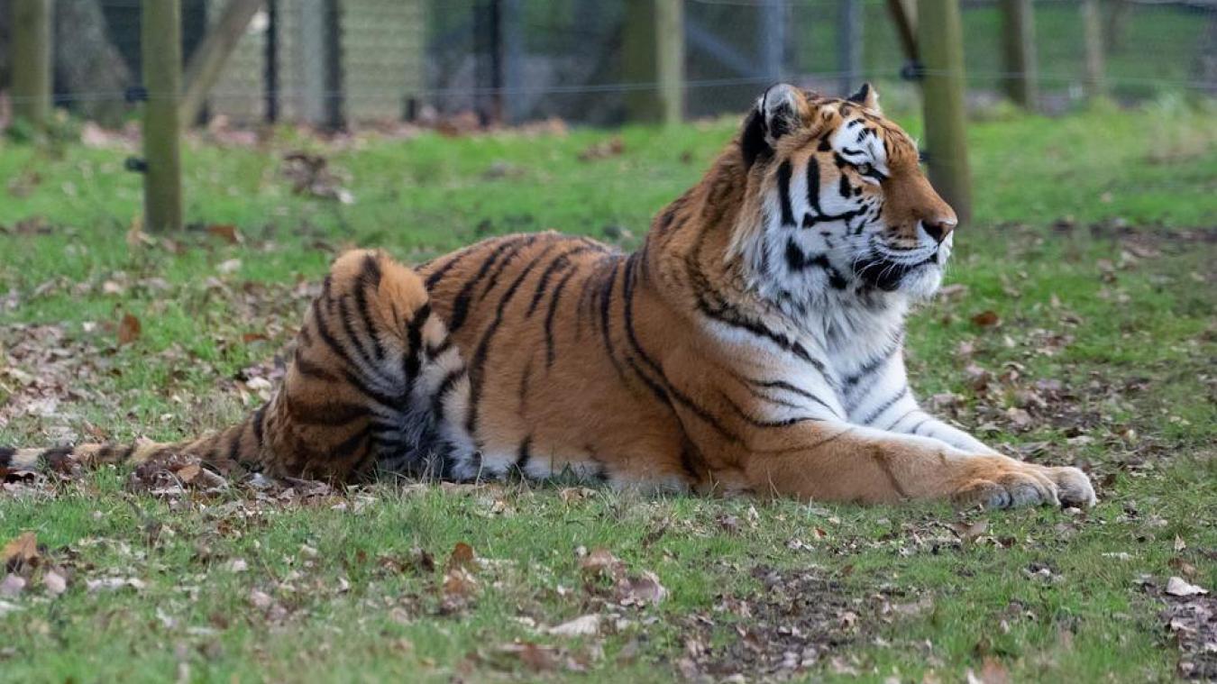 Au zoo de Zurich, une gardienne a été tuée par un tigre