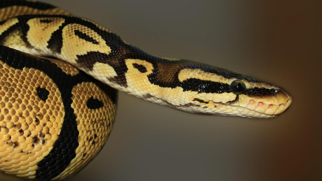 Royaume-Uni : non, un serpent ne peut pas servir de masque !