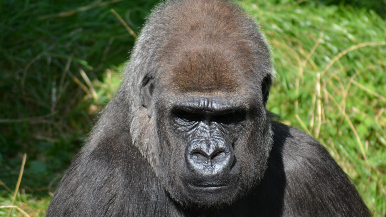 Une gardienne de zoo grièvement blessée par un gorille — Madrid