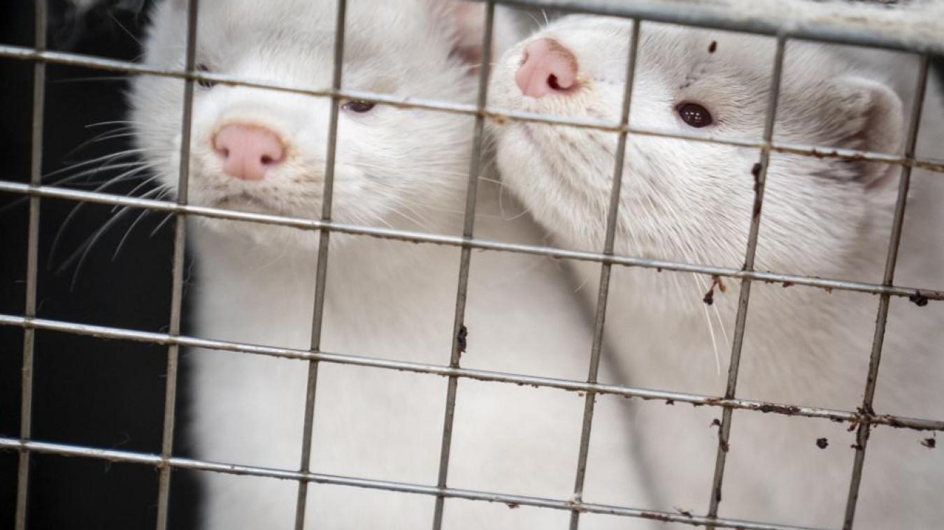 La France a détecté un premier cas de contamination au Covid-19 dans un élevage de vison entraînant l'abattage de 1000 animaux en Eure-et-Loir