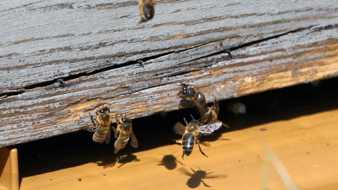 Au sortir de l'hiver, les abeilles sont de retour. Photo Archives Hubert Van Maele
