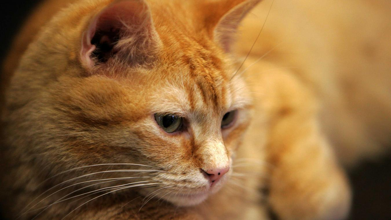 Royaume-Uni: une «maladie mystérieuse» provoque la mort de plusieurs centaines de chats