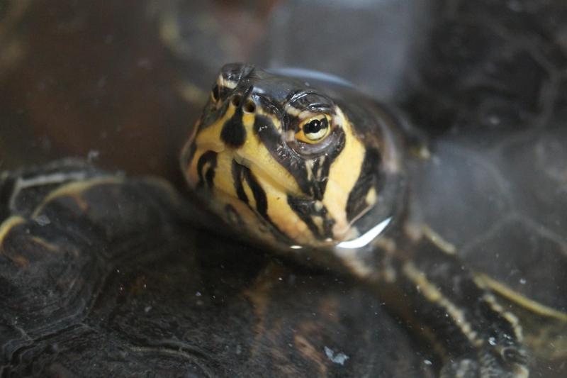 Jusqu'à présent, les nombreuses tortues tropicales recueillies par l'association s'entassaient dans des bassins devenus trop exigus.